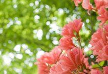 azalea blossom Copy