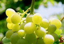 green grapes Copy