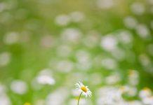 white daisies Copy