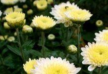 chrysantemun Copy