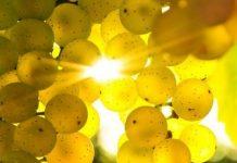 grapes1 Copy