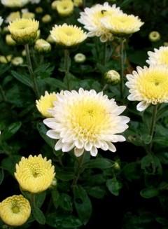 chrysantemun Copy 240x327