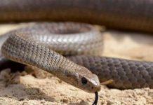 ular wrna coklat Copy