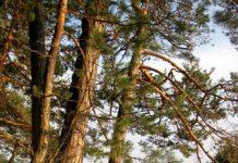 pine-river-pra Copy