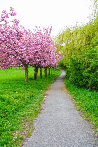 blossoming cherry trees Copy