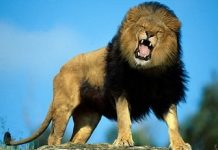 singa mengaum Copy