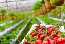 Manfaat Buah Stroberi Bagi Kesehatan Copy