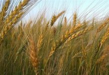 wheat Copy