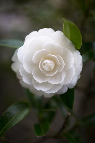 whiterose Copy