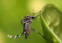 nyamuk-penyebab-dengue-dan-virus-zika Copy